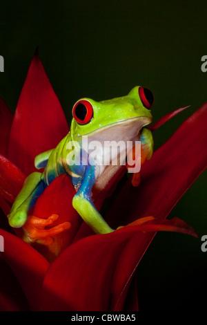Rotäugigen Baumfrosch auf roten Heliconia Blume - Stockfoto