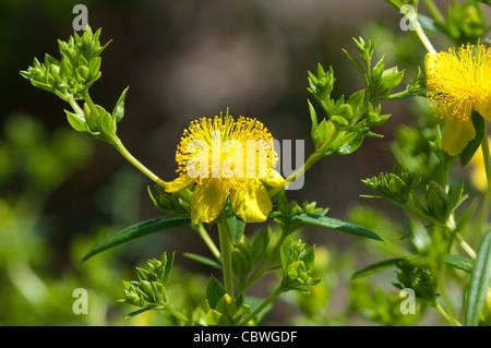 Strauchige St. Johns Wort, Zimtstange (Hypericum Prolificum), Blüten und Knospen. - Stockfoto