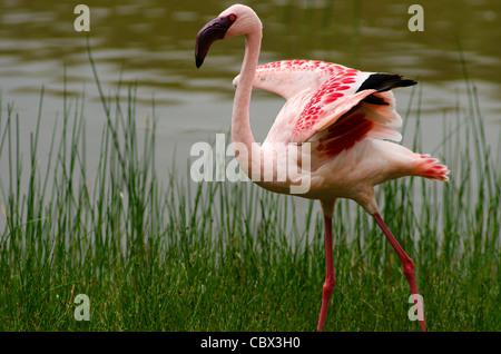 Lesser Flamingo in Crater Lake, Kenia - Stockfoto