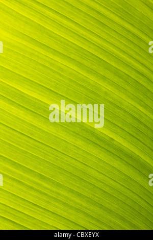 Banane Blatt grün floral natürlichen Hintergrund - Stockfoto