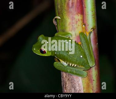 Rotäugigen Baumfrosch (Agalychnis Callidryas), Costa Rica - Stockfoto