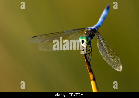 Dasher Dragonfly Blue - Green Cay Feuchtgebiete - Delray Beach, Florida USA - Stockfoto