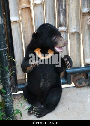 Eine niedliche, malayischen Sonne Bärenjunges im Freien die Bären eine Wildlife Rescue Center in Phnom Tamao, Kambodscha. - Stockfoto