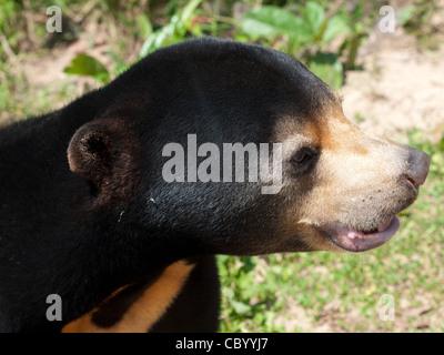 Ein glücklich malayischen Sonne-Bär. - Stockfoto