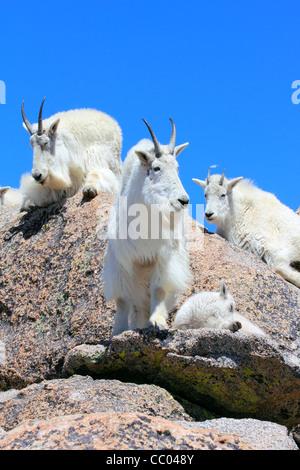 Eine Bergziege auf Mt. Evans in den Colorado Rocky Mountains. - Stockfoto