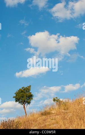 Indische Baum auf einem Hügel unter Trockenrasen in der indischen Landschaft. Andhra Pradesh, Indien - Stockfoto