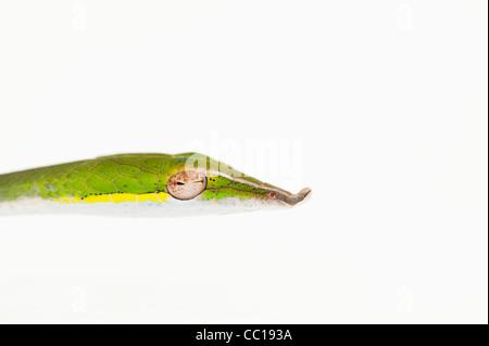 Ahaetulla Nasuta. Juvenile grüne Ranke Schlange auf weißem Hintergrund - Stockfoto