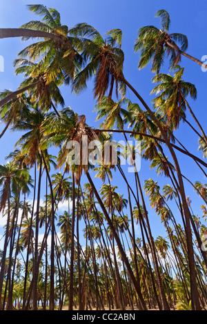 """""""Royal Hain"""" von Kokospalmen gepflanzt von hawaiischen König Kamehameha v. im Jahre 1868. Molokai, Hawaii, USA. - Stockfoto"""