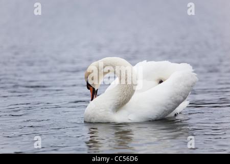 Höckerschwan; Cygnus Olor; putzen; UK - Stockfoto