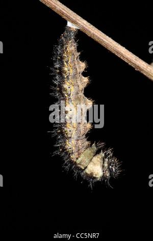 Metamorphose von kleiner Fuchs (Aglais Urticae) Schmetterling Larve in eine Puppe. 1 von 7.