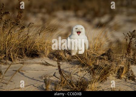 Gähnende Schnee-Eule - Männchen - Stockfoto