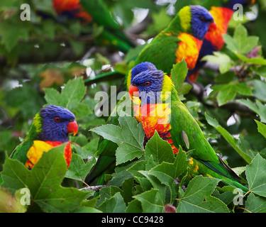Lorikeets im Baum - Stockfoto