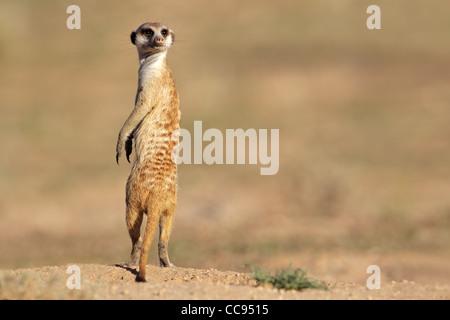 Alarmieren Sie Erdmännchen (Suricata Suricatta) stehen auf der Hut, Kgalagadi Transfrontier Park, Südafrika - Stockfoto
