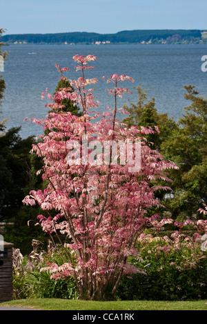 Rosa Toon Baum, Cedrela Sinensis, Lake Rotorua. Neue Blätter sind rosa im Frühjahr, Creme, dann hellgrün bis zum - Stockfoto