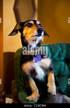 Dackel auf einem Liegestuhl mit niedlichen Pose sitzen - Stockfoto