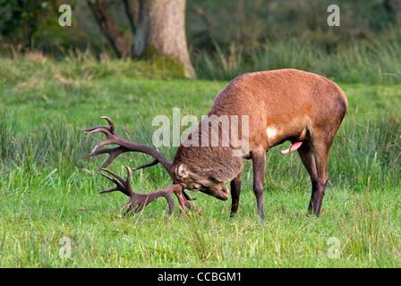 Rothirsch (Cervus Elaphus) - Stockfoto
