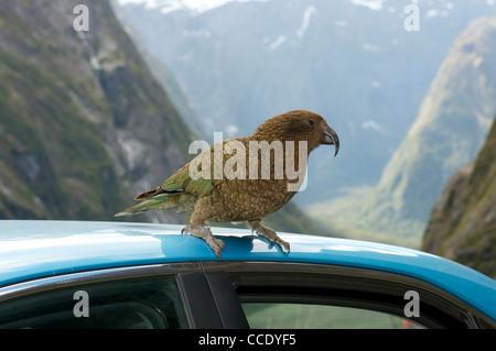Kea eine alpine Papagei aus Neuseeland - Stockfoto