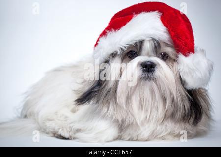 ein weihnachts welpe in eine weihnachtsm tze stockfoto bild 33629807 alamy. Black Bedroom Furniture Sets. Home Design Ideas
