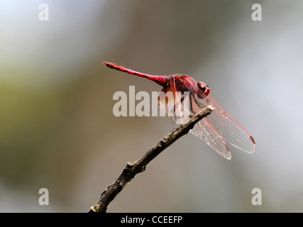 Rote Libelle - Stockfoto