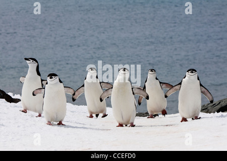 Kinnriemen Pinguine (Pygoscelis Antarctica) Wandern, Half Moon Island, South Shetland Island, antarktische Halbinsel - Stockfoto