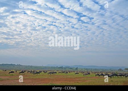Gnus (oder Gnus, Gnus oder Wildebai, Gnu) Herden in den weiten Ebenen der Masai Mara, Kenia, Afrika - Stockfoto