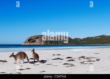 26. März 2011 - Esperance, Western Australia, Australien - sitzen zwei graue Kängurus am Strand von Lucky Bay in - Stockfoto