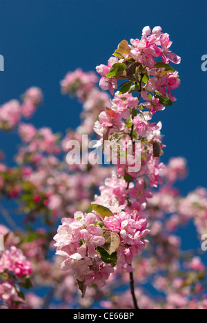 Rosa Apfelblüten vor einem tiefblauen Himmel