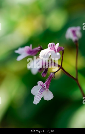 Streptocarpus Thompsonii Cape Primel weiß lila Blumen Blüte Blüten ...