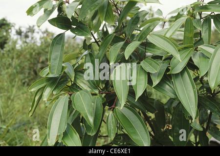 Ceylon Zimt Baum Echte Zimtbaum Cinnamomum Verum Stockfotografie Alamy