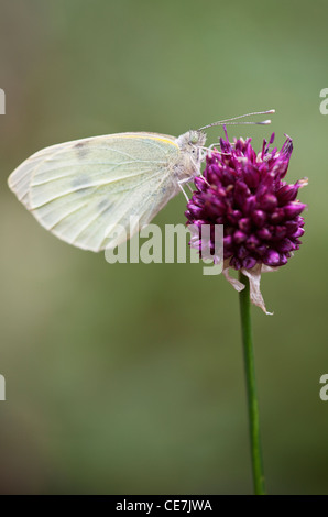gro er wei er schmetterling pieris brassicae an einer flockenblume bl te bedgebury wald kent. Black Bedroom Furniture Sets. Home Design Ideas