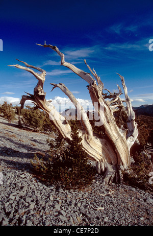 Great Basin Bristlecone Kiefer auf Mt. Washington, Great Basin National Park, Nevada, USA. Humboldt-National Forest. - Stockfoto