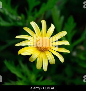 euryops chrysanthemoides gelbe blume bl te bl ten stauden. Black Bedroom Furniture Sets. Home Design Ideas