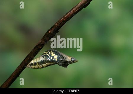 Schmetterling Kalk Papilio demoleus Entstehung Sequenz 1 - IKA 80249 - Stockfoto