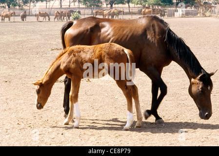 IKA 80279: Pferde, Fohlen, Gestüt, Pferd, Mutter und Kind - Stockfoto