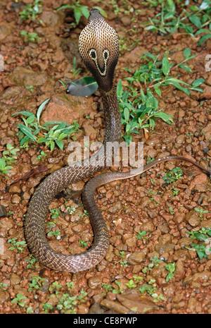 IKA 80438: Reptilien, Schlangen, Cobra indische Spectacled Cobra Naja Naja - Stockfoto