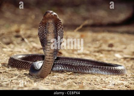 JRR 80436: Reptilien Schlangen Cobra indischen Spectacled Cobra Naja Naja Haube öffnen Indien - Stockfoto