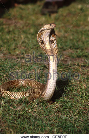 Schlange Cobra indischen Spectacled Cobra Naja Naja mit offenem Verdeck Indien - Stockfoto