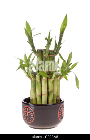 Bambus (Dracaena Sanderiana) in einem Topf Porzellan isoliert auf weiss - Stockfoto