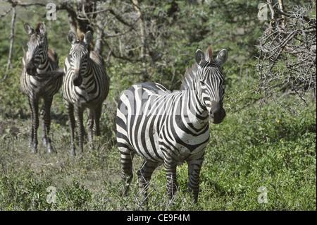 Wilde Zebras in Afrika. - Stockfoto