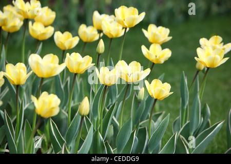 Bett mit gelben Tulpen - Stockfoto