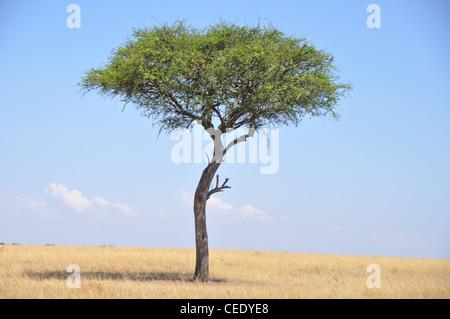 Baum. Savanne, Park Masai Mara, Kenia, Afrika - Stockfoto