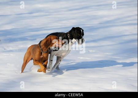 Stock Foto von Hunden im Schnee spielen - Stockfoto