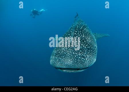 Walhai, Rhincodon Typus, Nord Male Atoll, Indischer Ozean, Malediven - Stockfoto