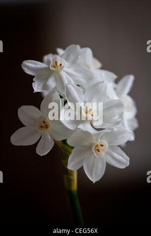 wei e blumen auf einem duftenden narzisse narzissen 39 paperwhite 39 als zimmerpflanze im winter. Black Bedroom Furniture Sets. Home Design Ideas