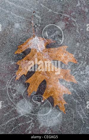 Rote Eiche Blatt Quercus Rubra und Luftblasen eingefroren im Eis im Osten der USA - Stockfoto