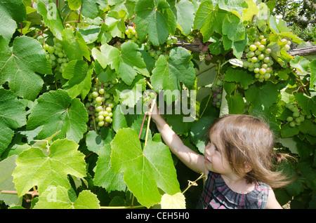 Ein kleines Mädchen isst grünen Trauben in einem Wein Weinberg im Frühjahr. - Stockfoto