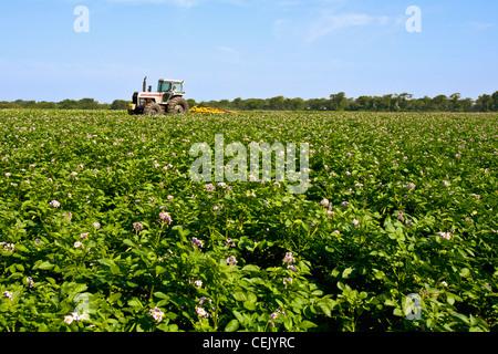 Mitte Wachstumsfeld blühen Kartoffelpflanzen bei einer einheimischen Familie produzieren Bauernhof mit einem Traktor - Stockfoto