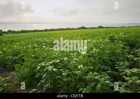 Mitte Wachstumsfeld blühen Kartoffelpflanzen bei einer einheimischen Familie produzieren Bauernhof mit dem Sakonnet - Stockfoto