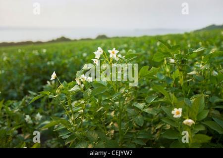 Mitte Wachstum blühende Kartoffel produzieren Pflanzen bei einer einheimischen Familie Bauernhof mit dem Sakonnet - Stockfoto