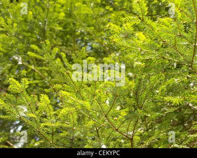 Zweige von den europäischen Tanne / Abies Alba / Äste Einer Weiß-Tanne - Stockfoto